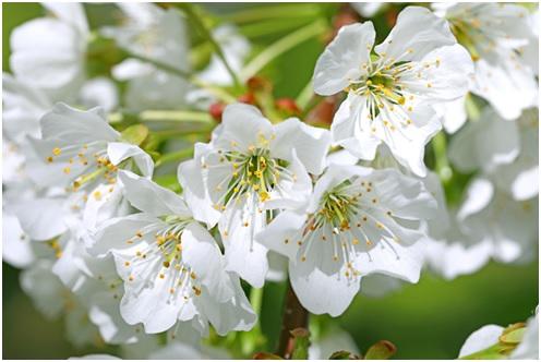 さくらんぼの花 佐藤錦の花 紅秀峰の花