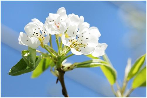 ラフランスの花