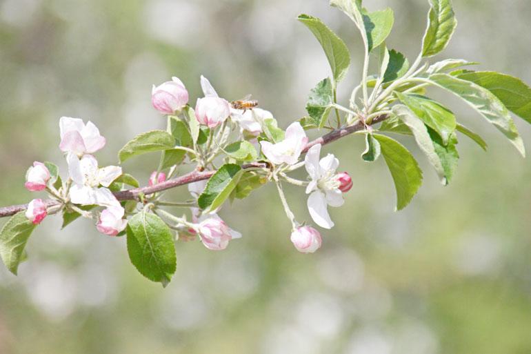 りんご花 りんご通販 ふじりんご花