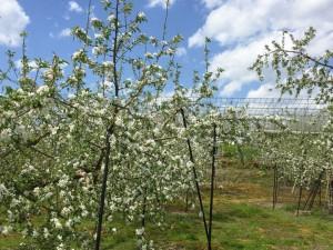 りんごの花 サンふじの花 リンゴ開花