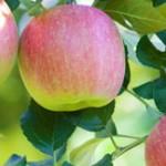 こうとく 蜜入りりんご サンふじ