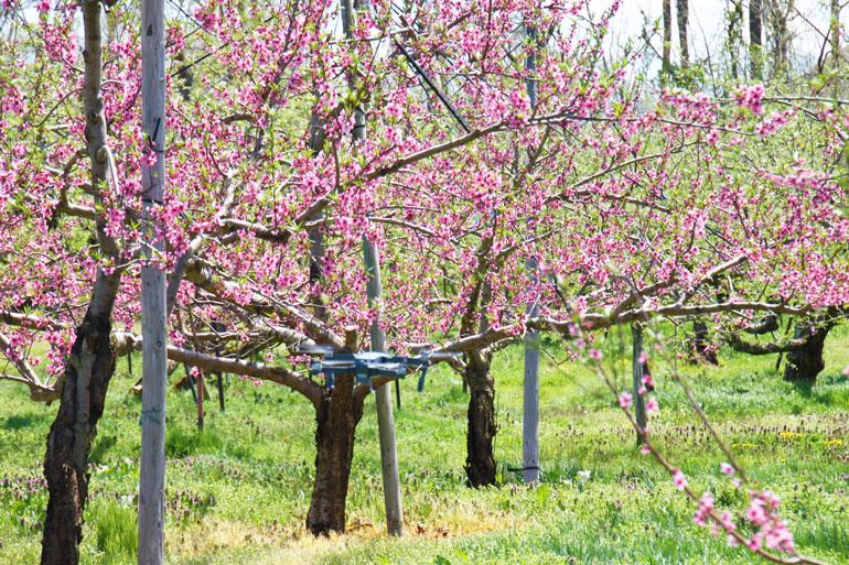 桃の通販、もも通販 山形の桃