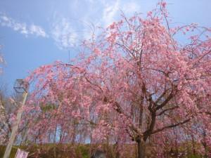 山形の桜 山形さくらんぼ 山形さくら