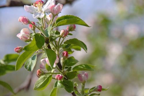 りんご通販 りんごの花 蜜入りりんごこうとく