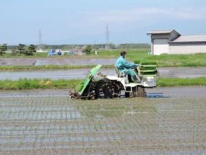 お米づくり 田植え はえぬき