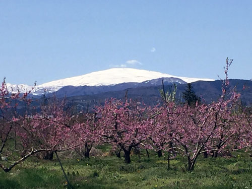 はるか後方に月山(1984m)を望む桃の畑、生産者は中野さん