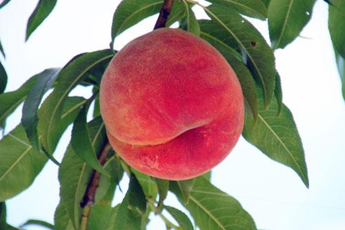 桃通販 川中島白桃 もも通販