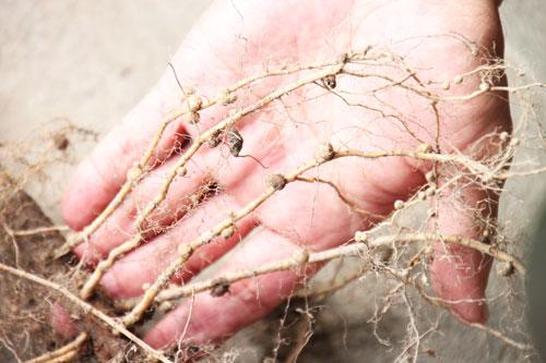 根粒菌 白山だだちゃ豆 だだちゃ豆