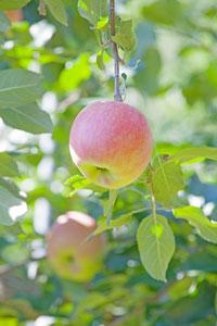 こうとく 蜜入りりんご 蜜姫こうとく