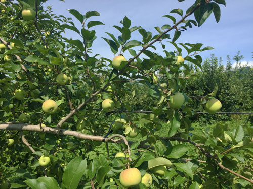 蜜入りこうとく 山形りんご りんご通販