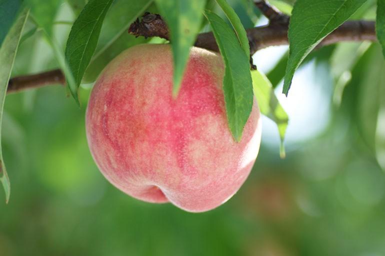 桃有袋栽培 山形の桃 桃通販