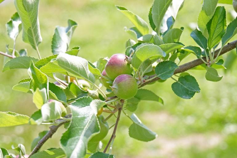 美味しいりんご栽培 りんご通販 蜜入りこうとく