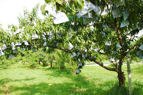 山形の桃 桃の栽培 桃通販