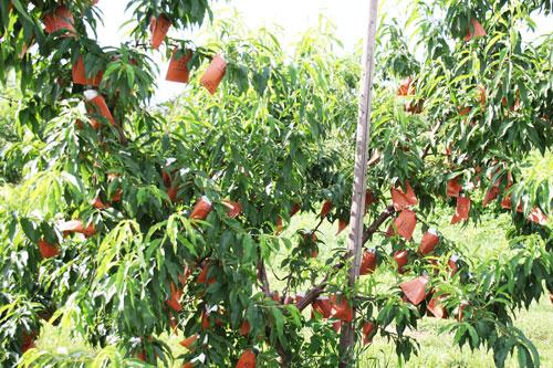 桃の栽培 山形の桃 桃通販