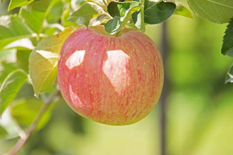 極ふじ(きわめふじ) 蜜入りサンふじ 蜜入りりんご通販