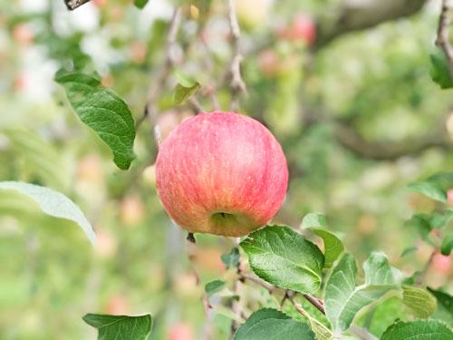昂林(こうりん) 早生ふじ昂林 りんご通販