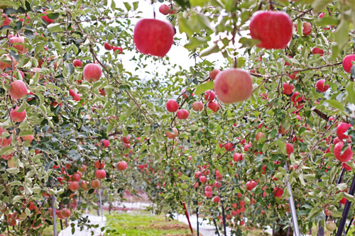 昂林 早生ふじ昂林 山形りんご