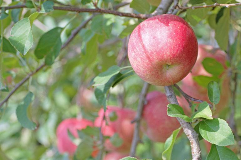 早生ふじ 昂林(こうりん) 山形りんご通販