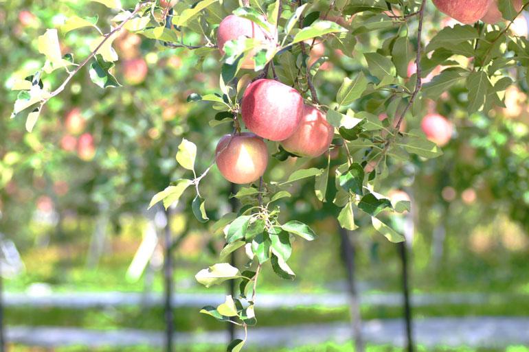 昂林(こうりん)通販 山形りんご通販 りんご通販