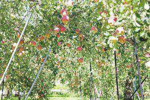 サンふじ 密入りリンゴ りんご通販