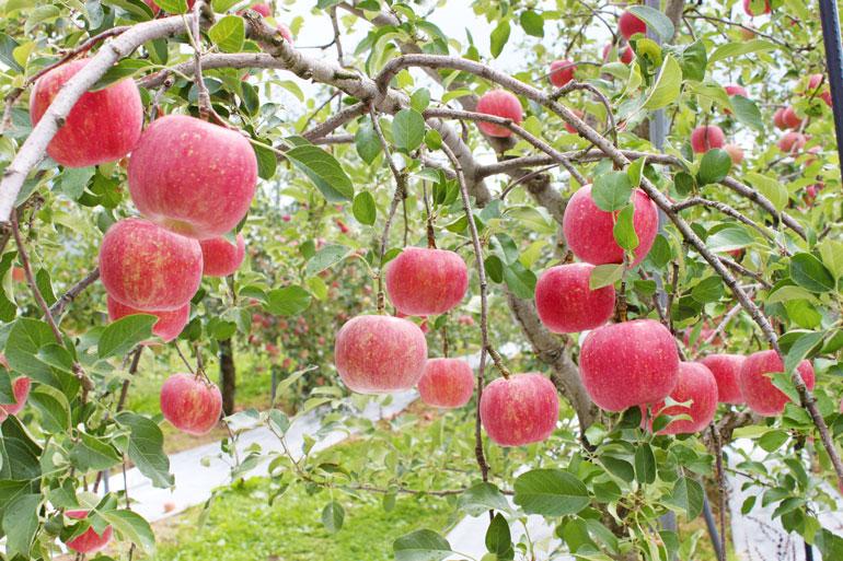 蜜入りりんご 蜜入りサンふじ 蜜入りこうとく