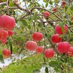 ふじりんご サンふじ りんご通販
