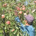 ふじりんご りんご通販 サンふじ