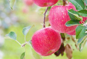 ふじりんご通販 サンふじ ふじりんご生産