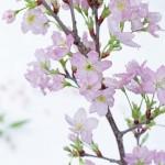 啓翁桜 啓翁桜通販 正月啓翁桜