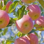 りんご通販 ふじりんご保存 ふじりんご通販