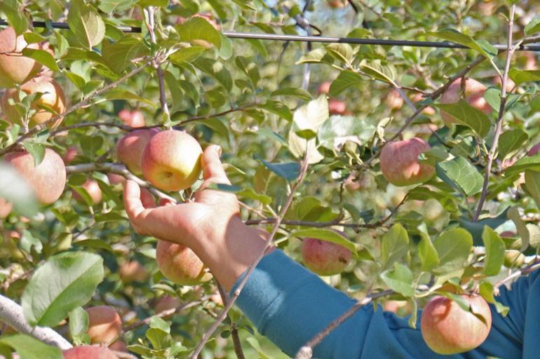 こうとく りんご通販 蜜入りりんご