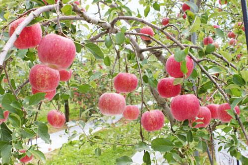 りんご通販 ふじりんご サンふじ