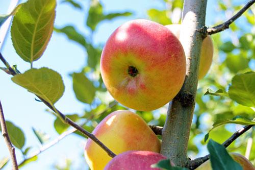 こうとくお取り寄せ りんご通販 蜜入りりんご