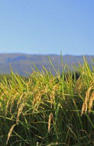 ミルキークイーン 低アミロース 山形のお米