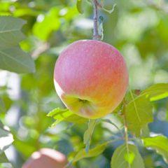 蜜入りリンゴ こうとく 高徳