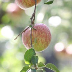 蜜リンゴ 蜜入り こうとく