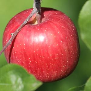 山形りんご