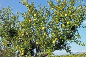 シナノゴールド りんご通販 山形りんご