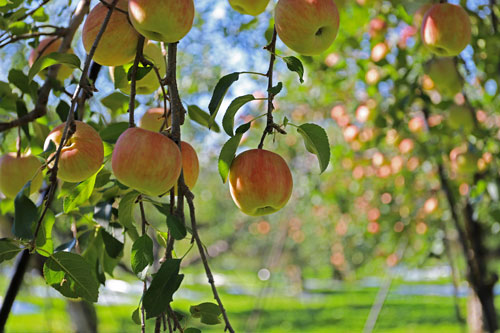 蜜入りリンゴ こうとく サンふじ